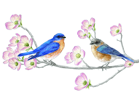 Drawing of Eastern Bluebirds