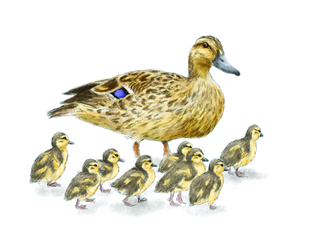 Drawing of mallards
